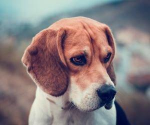 Beagle Dog Wallpaper