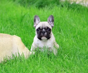 French Bulldog Puppy Wallpaper