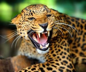 Growling Leopard Wallpaper