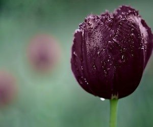 Deep Purple Tulip Wallpaper