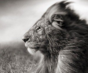 Portrait Of A Lion In Black And White Wallpaper