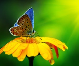 Butterfly Collecting Pollen Wallpaper