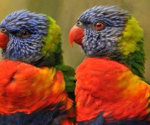 Lovebirds Wallpaper