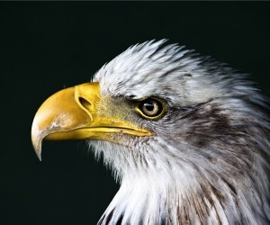 Bald Eagle Beak Wallpaper