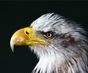 Bald Eagle Beak Wallpaper