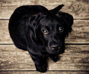 Black Lab Puppy Wallpaper