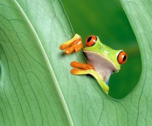 Red Eyed Tree Frog Wallpaper