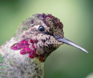 Anna's Hummingbird Wallpaper
