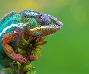 Colorful Panther Chameleon Wallpaper