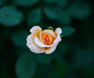 Single Rose Wallpaper